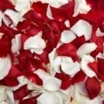 Campioni omaggio di petali di rosa